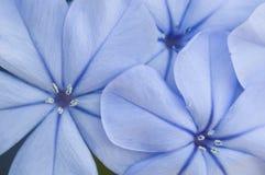 Flor em botão do auriculata da plumbagina Imagem de Stock Royalty Free
