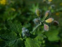 Flor em botão do maior Celandine - Chelidonium Majus Imagem de Stock Royalty Free