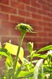 Flor em botão do purpurea do echinacea de Coneflower/na luz solar da manhã Imagem de Stock