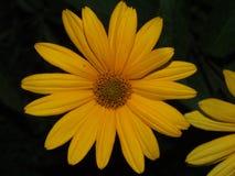 A flor em botão do rudbeckia As pétalas são amarelas Fotos de Stock Royalty Free