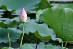 Flor em botão dos lótus Fotografia de Stock