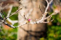 Flor em botão na primavera foto de stock