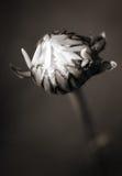 Flor em botão no sepia imagem de stock