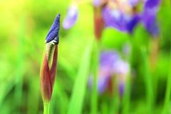 Flor em botão roxa da íris Fotografia de Stock Royalty Free