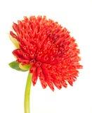 Flor em botão vermelha bonita da dália fotografia de stock