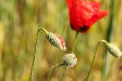 Flor em botão vermelha da papoila Fotografia de Stock