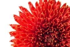 Flor em botão vermelha de Georgina fotografia de stock royalty free