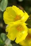 Flor em Tailândia Fotos de Stock Royalty Free