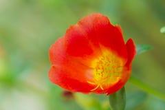 Flor em Tailândia Foto de Stock Royalty Free