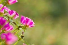 Flor em Tailândia Imagens de Stock