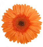 Flor em um fundo branco Imagem de Stock Royalty Free