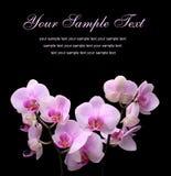 Flor em um fundo isolado preto Foto de Stock Royalty Free