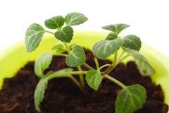 Flor em um potenciômetro Imagem de Stock Royalty Free