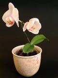 Flor em um potenciômetro Fotografia de Stock