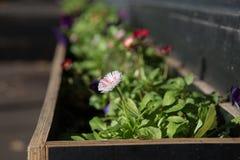 Flor em uma caixa do plantador Imagem de Stock Royalty Free