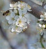 Flor en abeja de la miel del jardín de la fruta Foto de archivo libre de regalías