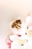 Flor en abeja de la miel del jardín de la fruta Fotos de archivo libres de regalías