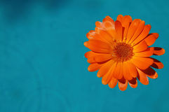 Flor en agua foto de archivo libre de regalías