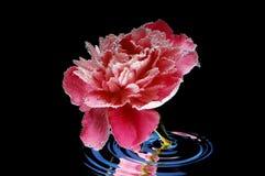 Flor en agua Imagen de archivo
