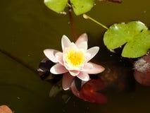 Flor en agua del tha Fotos de archivo