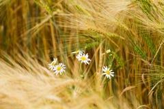 Flor en centeno Imágenes de archivo libres de regalías