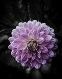 Flor en diseño floral negro Fotografía de archivo libre de regalías