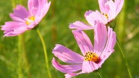 Flor en el campo, chiangmai Tailandia del cosmos almacen de metraje de vídeo