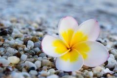 flor en el frangipani de la playa Imágenes de archivo libres de regalías