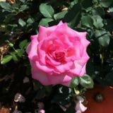 Flor en el jardín, foco suave de la rosa del rosa fotografía de archivo libre de regalías