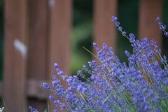 Flor en el jardín, parque, patio trasero, flor de la lavanda del prado en th Foto de archivo