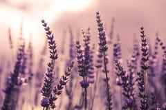 Flor en el jardín, parque, patio trasero, flor de la lavanda del prado en th Foto de archivo libre de regalías