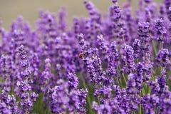 Flor en el jardín, parque, patio trasero, flor de la lavanda del prado en th Imágenes de archivo libres de regalías