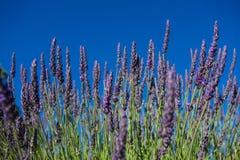 Flor en el jardín, parque, patio trasero, flor de la lavanda del prado en th Fotos de archivo libres de regalías