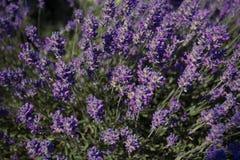 Flor en el jardín, parque, patio trasero, flor de la lavanda del prado en th Fotografía de archivo libre de regalías