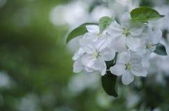 Flor en el jardín, tiempo de primavera, macro del manzano Imagen de archivo