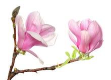 Flor en flor rosada de la magnolia fotografía de archivo
