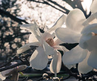 Flor en flor rosada de la magnolia Imagen de archivo