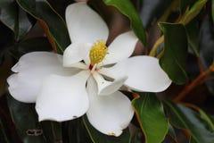 Flor en flor rosada de la magnolia Imagenes de archivo