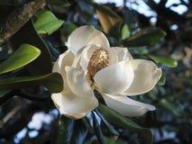 Flor en flor rosada de la magnolia Fotos de archivo