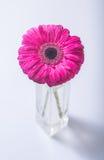 Flor en florero Fotografía de archivo libre de regalías