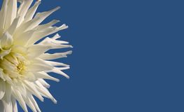 Flor en fondo azul Imagen de archivo libre de regalías