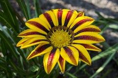 Flor en jardín con las gotas de agua Fotos de archivo libres de regalías