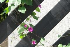 Flor en la cerca Fotos de archivo libres de regalías