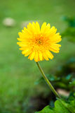 Flor en la flora real, provincia Tailandia del Gerbera del chiangmai Imagen de archivo