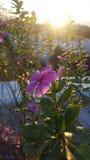 Flor en la puesta del sol Imagenes de archivo