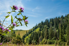 Flor en los Cárpatos Fotos de archivo libres de regalías