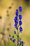 Flor en los Vosgos, Francia del napel de Aconit Fotografía de archivo libre de regalías