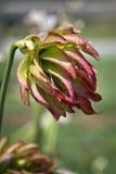 Flor en peligro de la especie Imagen de archivo
