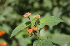 Flor en primer plano con sus hojas stock photography