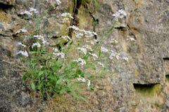 Flor en roca Fotografía de archivo